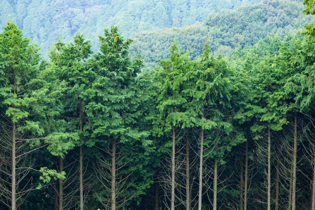 widok na korony drzew w lesie iglastym